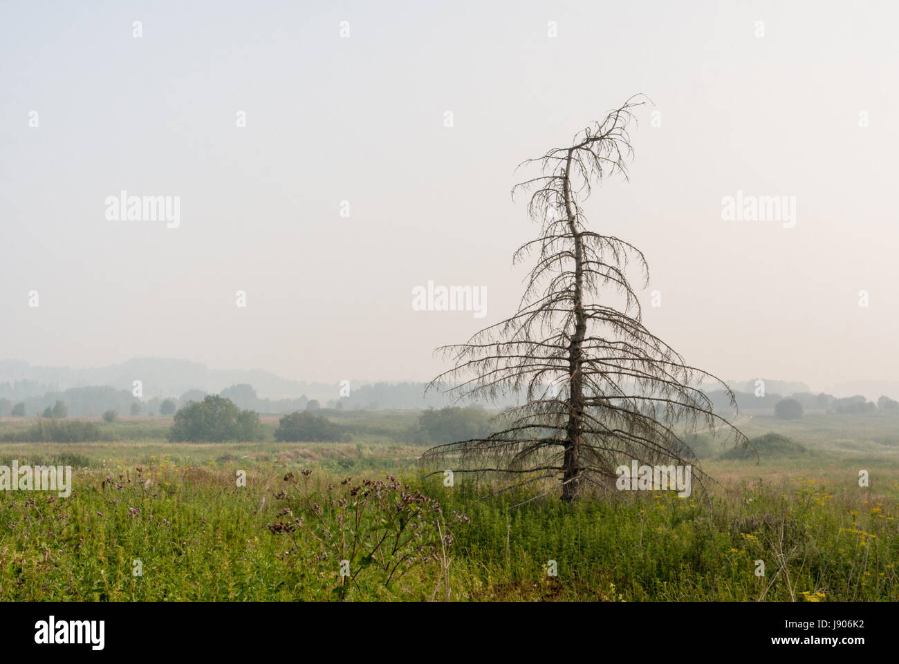 Silhouette dried spruce on green meadow and aerial perspective of surrounding area in sultry summer morning. - Stock Image