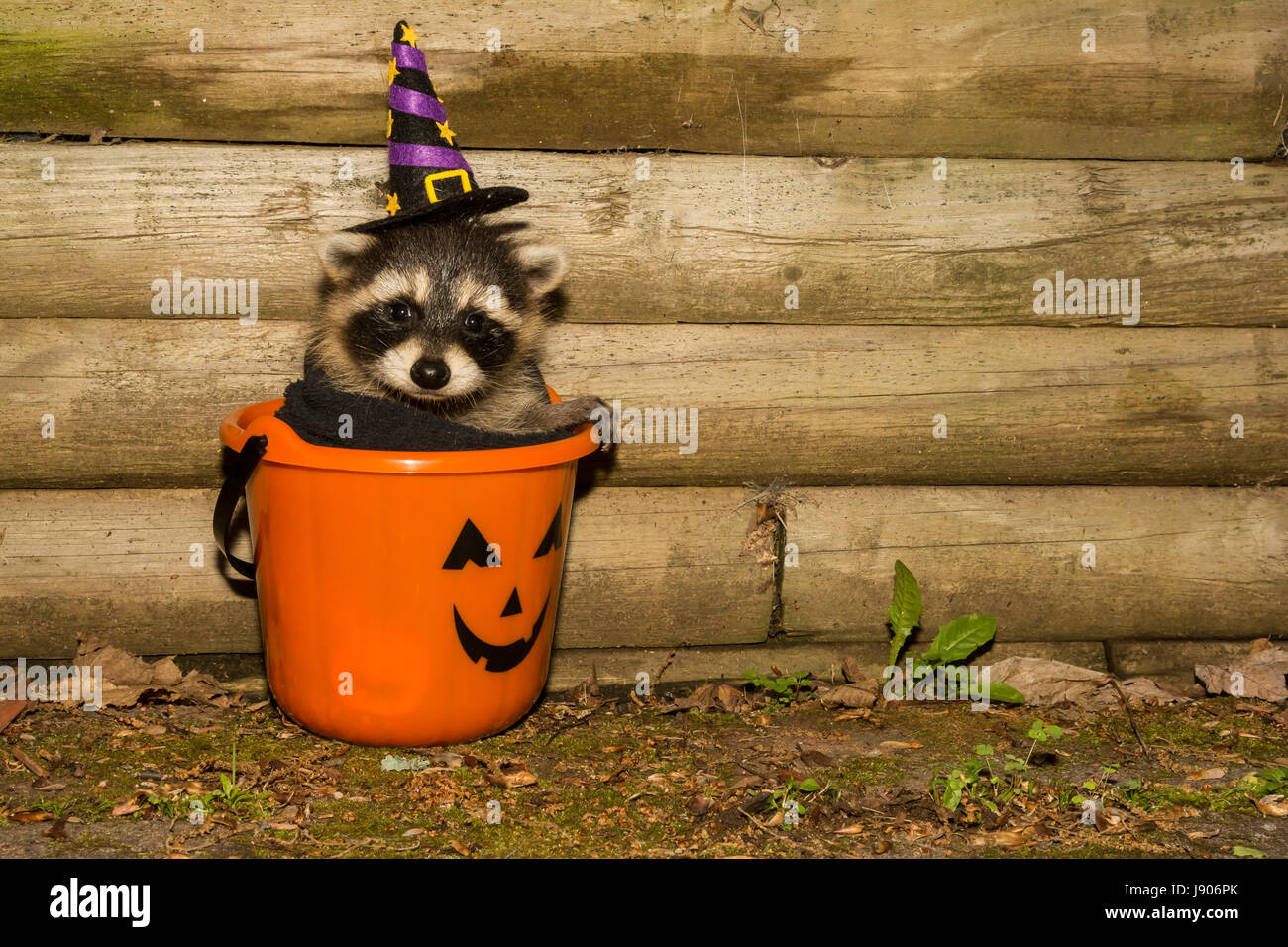 halloween baby raccoon wearing a costume hiding in a candy bucket