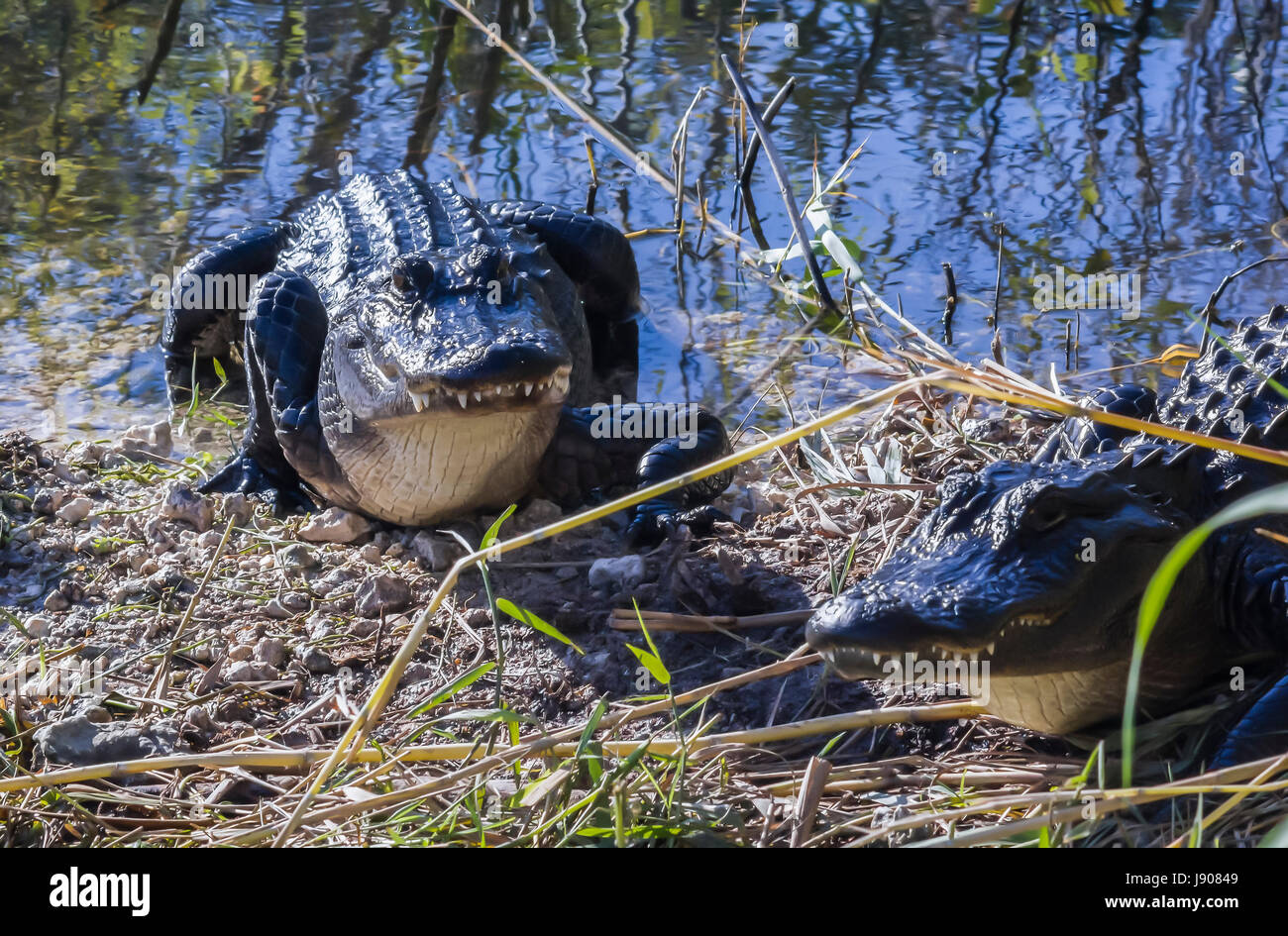 American Alligator in the Everglades National Park - Stock Image