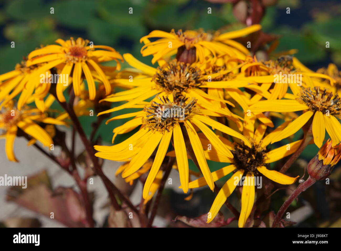 Yellow flowers (rough oxeyes, heliopsis helianthoides) with a bee sitting on them. - Stock Image