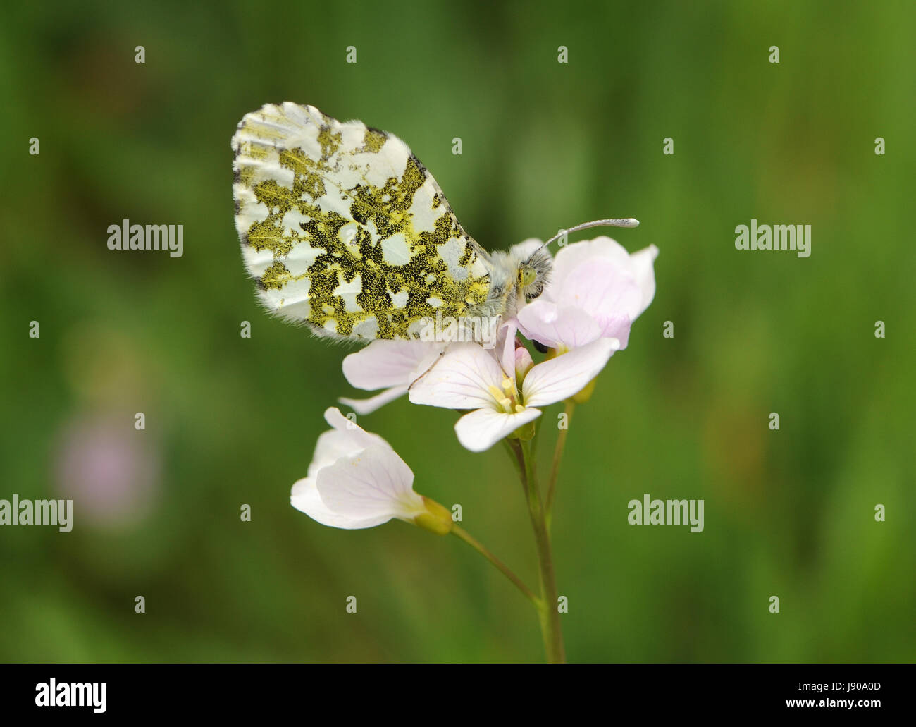 female Orange Tip butterfly (Anthocharis cardamines) on flowers of its food plant Cuckoo Flower or Ladies Smock Stock Photo