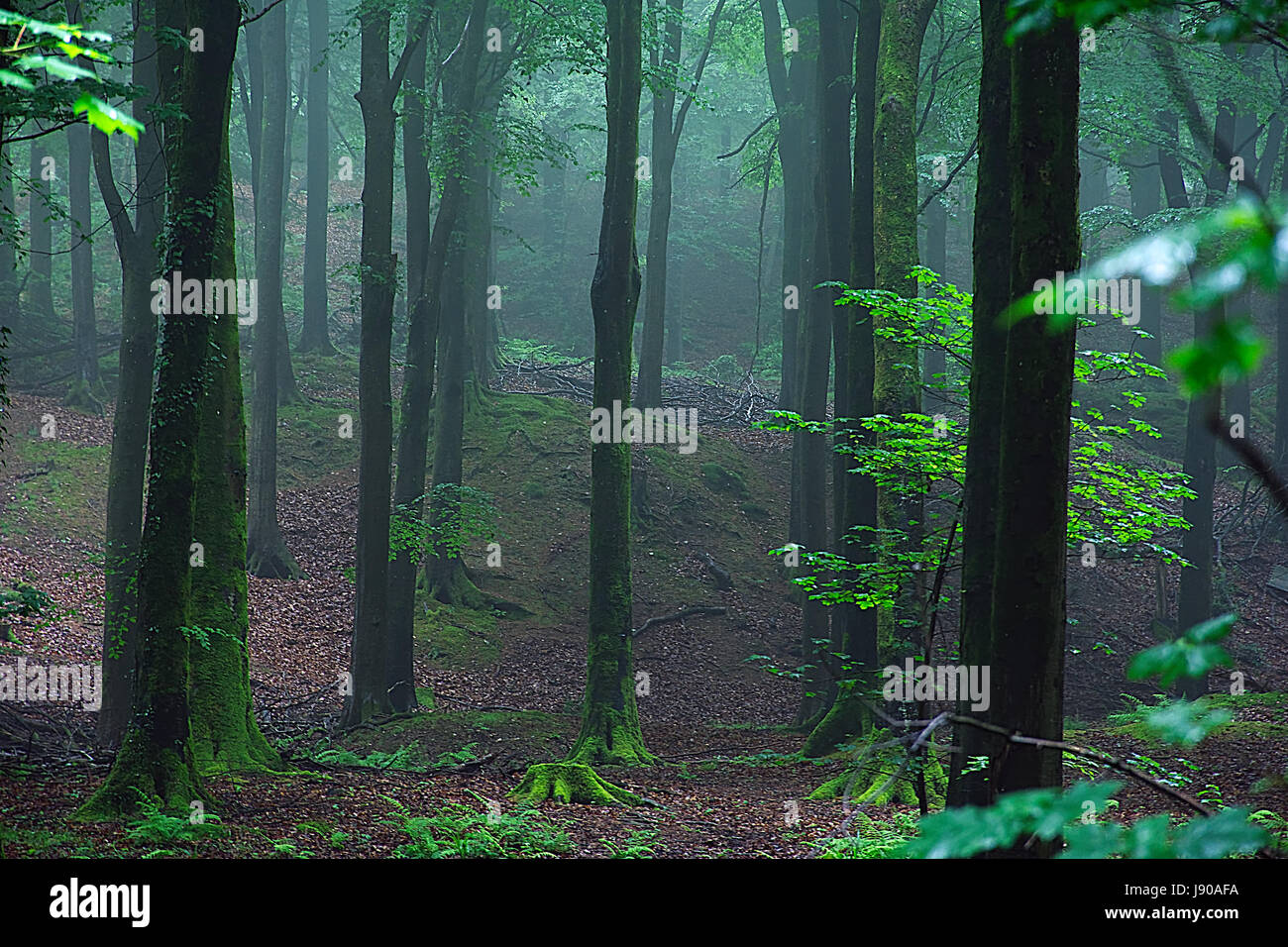 Misty Somerset forest early morning . - Stock Image