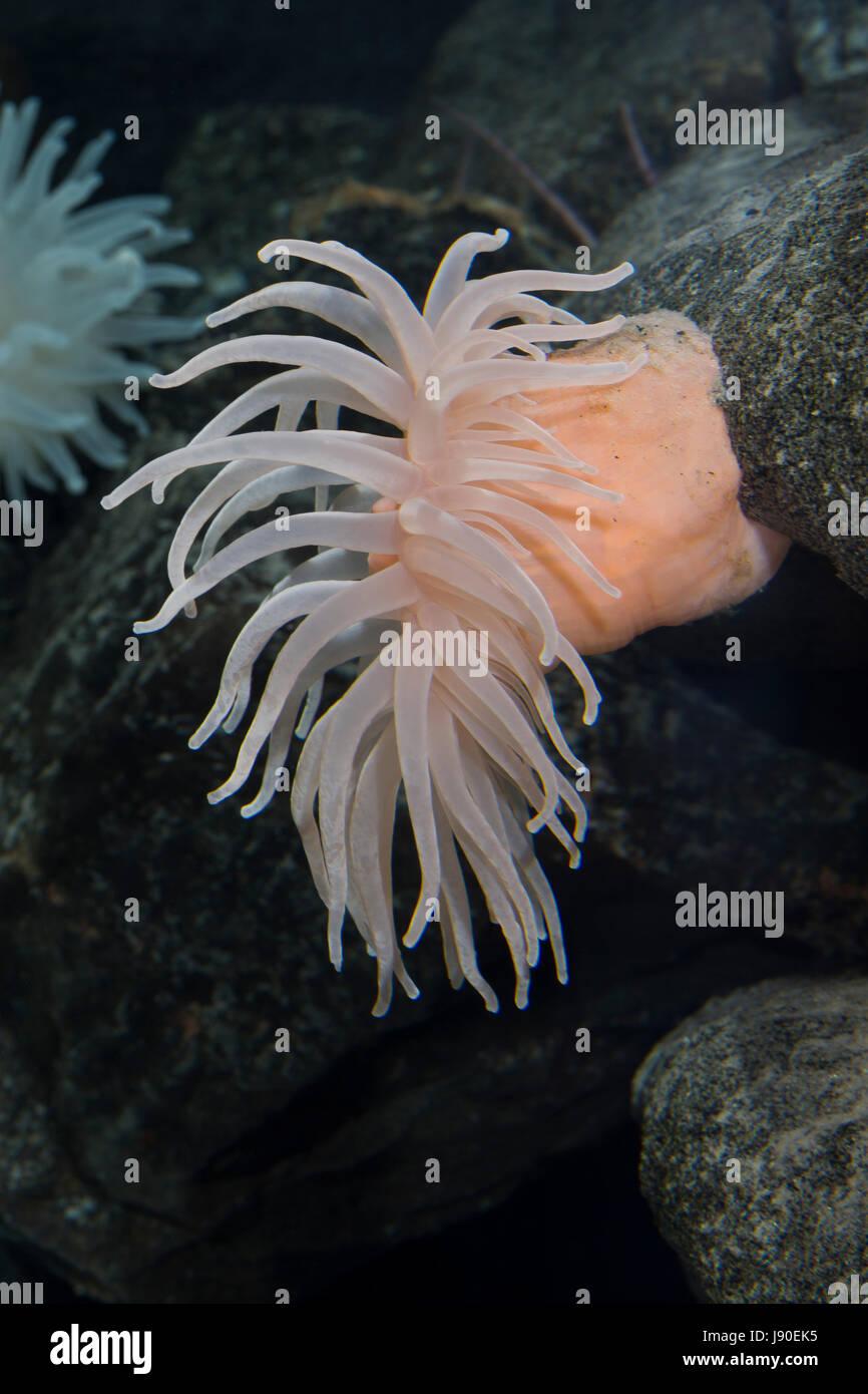 Glatte Seedahlie, Schlammseerose, Schlamm-Seerose, Bolocera tuediae, Deeplet sea anemone, Blumentier, Blumentiere, - Stock Image