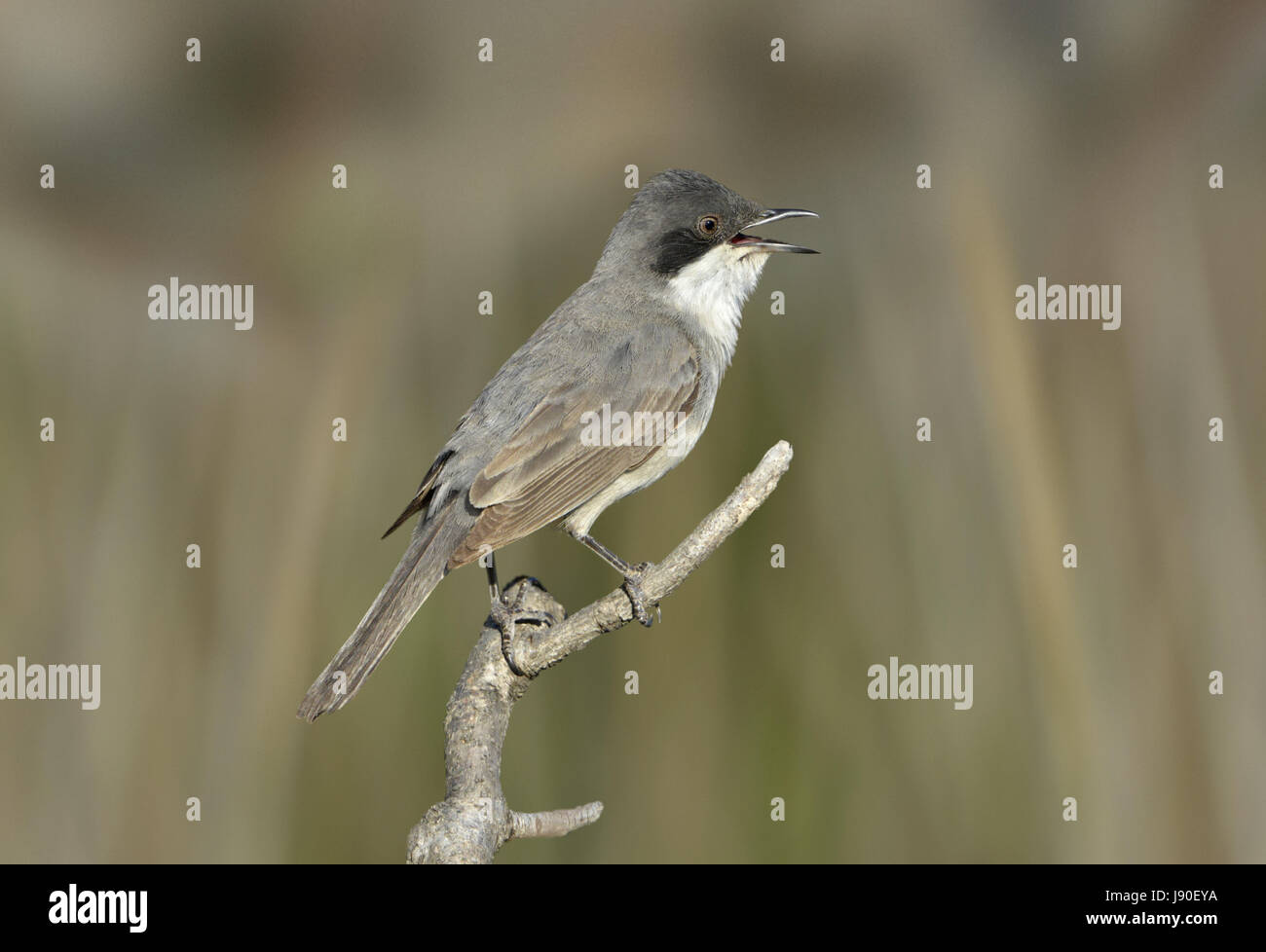 Eastern Orphean Warbler - Sylvia crassirostris - Stock Image