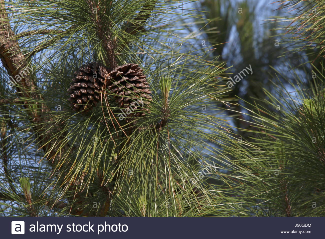Springtime pinecones in the early morning light - Stock Image