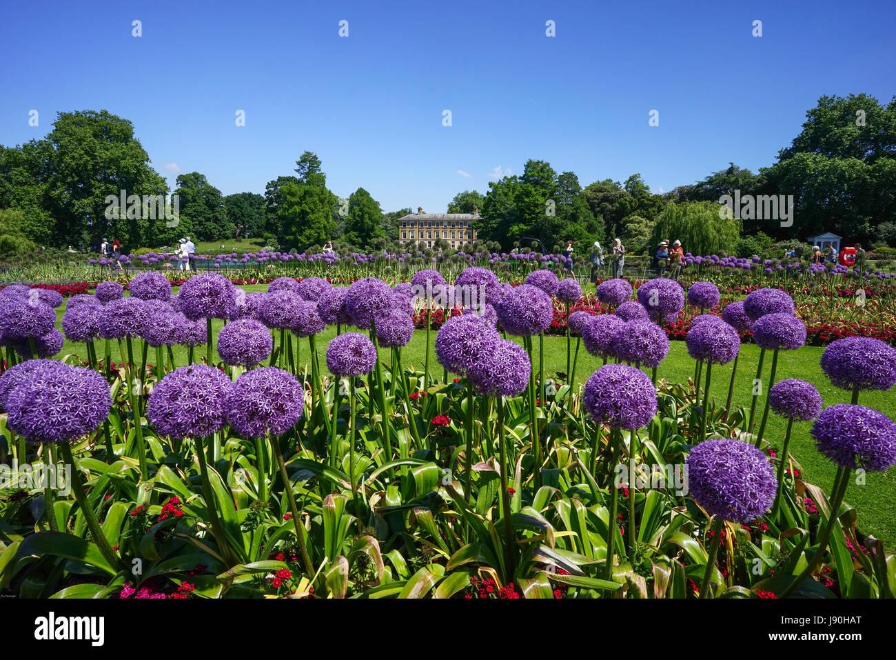 Alliums in Kew Gardens London Richmond, England. - Stock Image