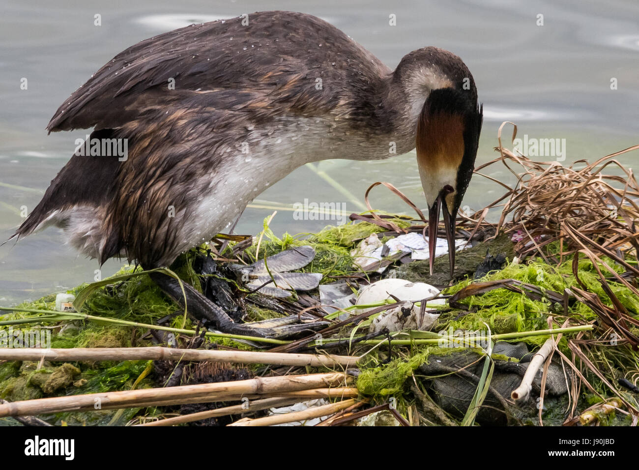 London, UK. 30th May, 2017. A Great Crested Grebe turns her eggs on Canada Water pond. © Guy Corbishley/Alamy - Stock Image