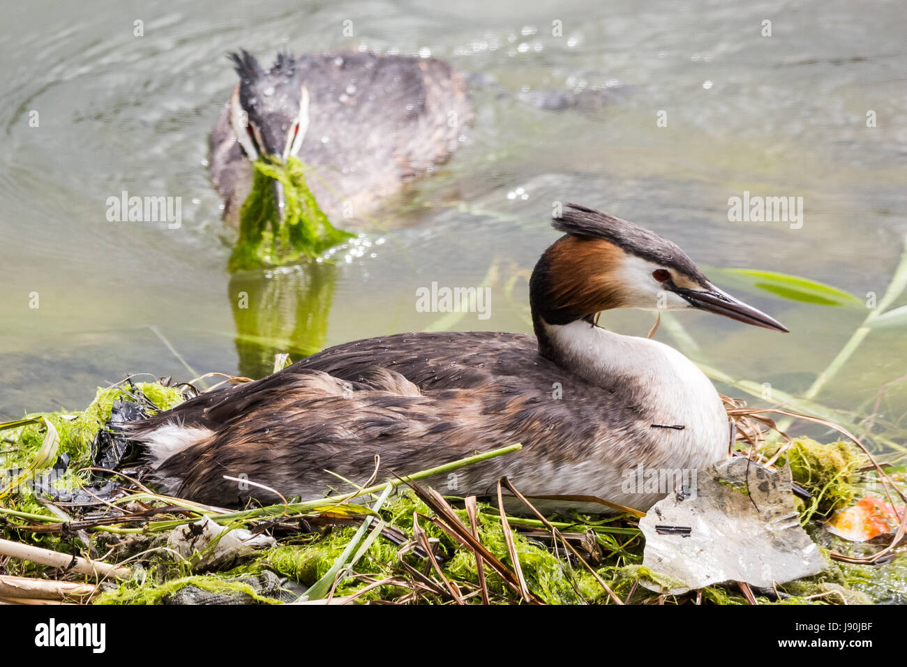 London, UK. 30th May, 2017. Great Crested Grebes nesting on Canada Water pond. © Guy Corbishley/Alamy Live - Stock Image