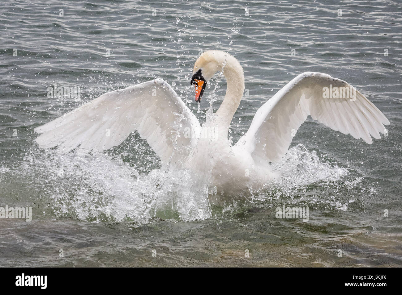 London, UK. 30th May, 2017. Mute swan on Canada Water pond © Guy Corbishley/Alamy Live News - Stock Image
