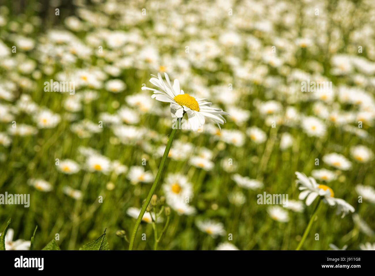 Rampton Cambridgeshire 31st May 2017. Wild Ox Eye daisy flowers bloom in a meadow in the warm summer weather. Temperatures reached 24 degrees centigrade in late afternoon sunshine on a day of mixed sun and clouds in the village just outside Cambridge. Credit Julian Eales/Alamy Live News Stock Photo