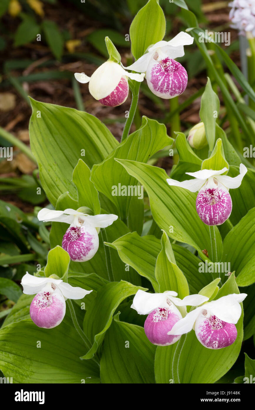 Pink and white flowers of the hardy Cypripedium 'Ulla Silkens', a June flowering terrestrial slipper orchid - Stock Image