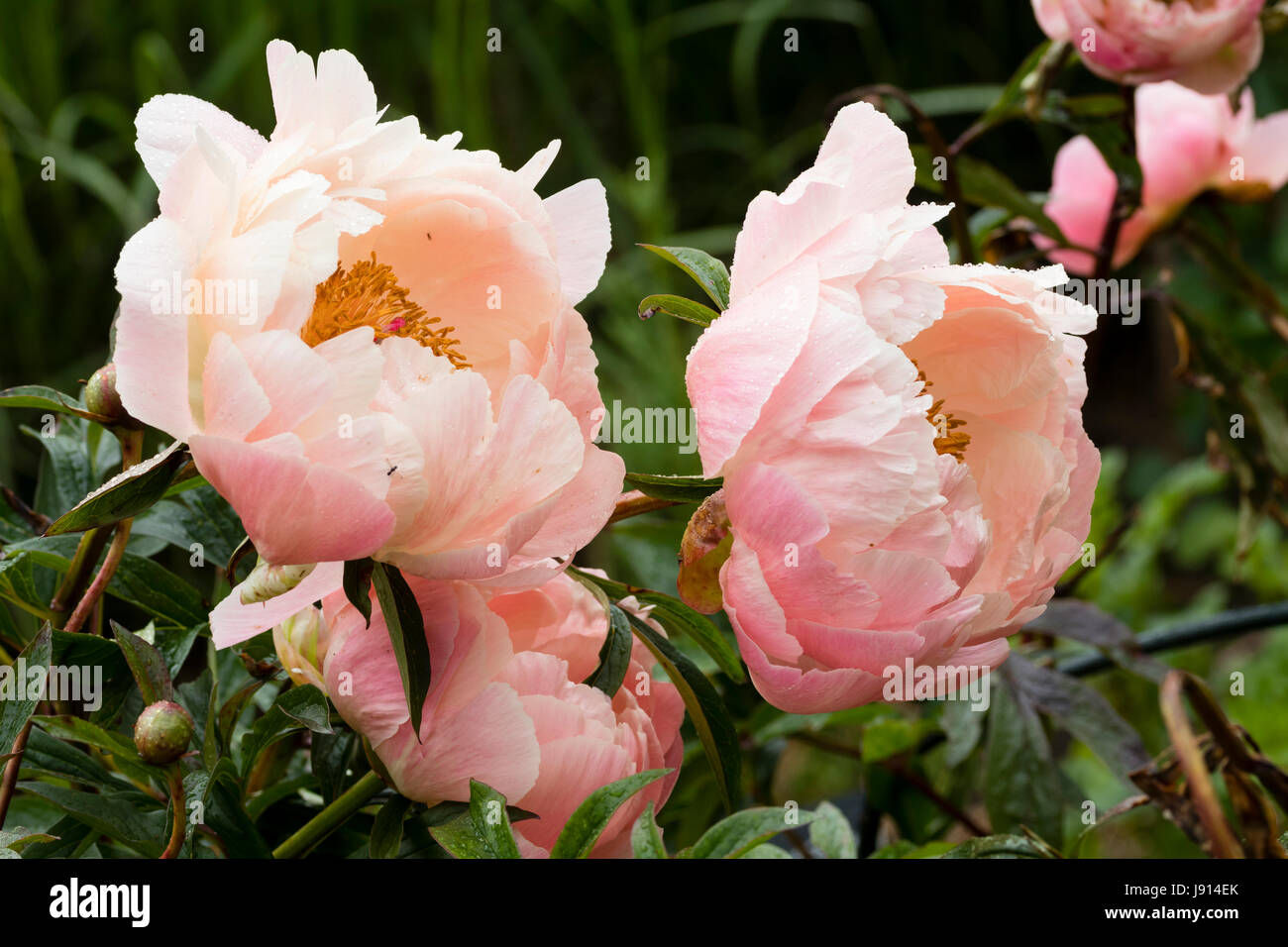 Two flowers of the semi double blooming peony, Paeonia 'Coral Charm' - Stock Image