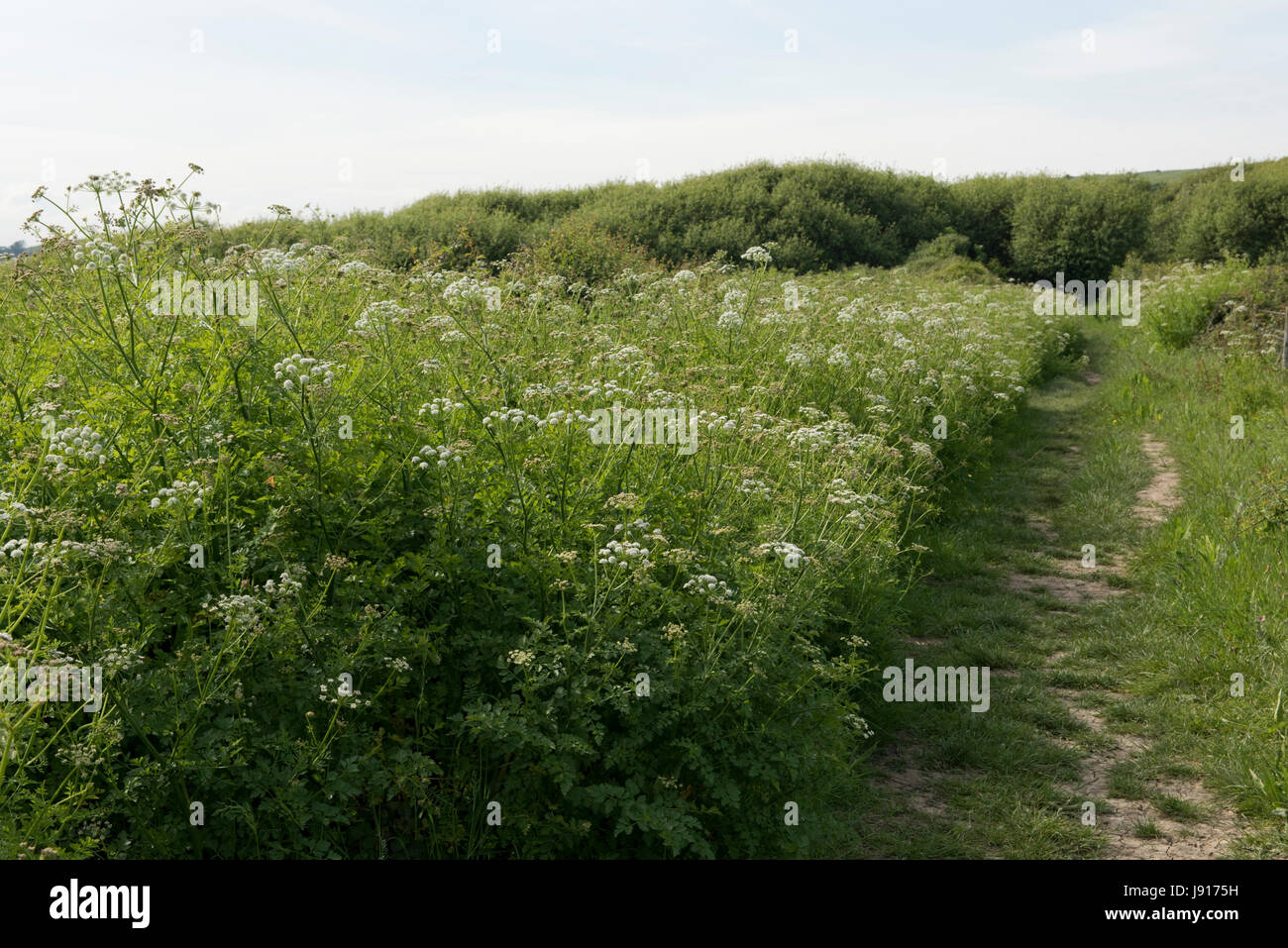 Hemlock water dropwort, Oenanthe crocata, banks of extremely poisonous umbelliferous plant in marshy area behind Chesil Beach, Dorset, May Stock Photo