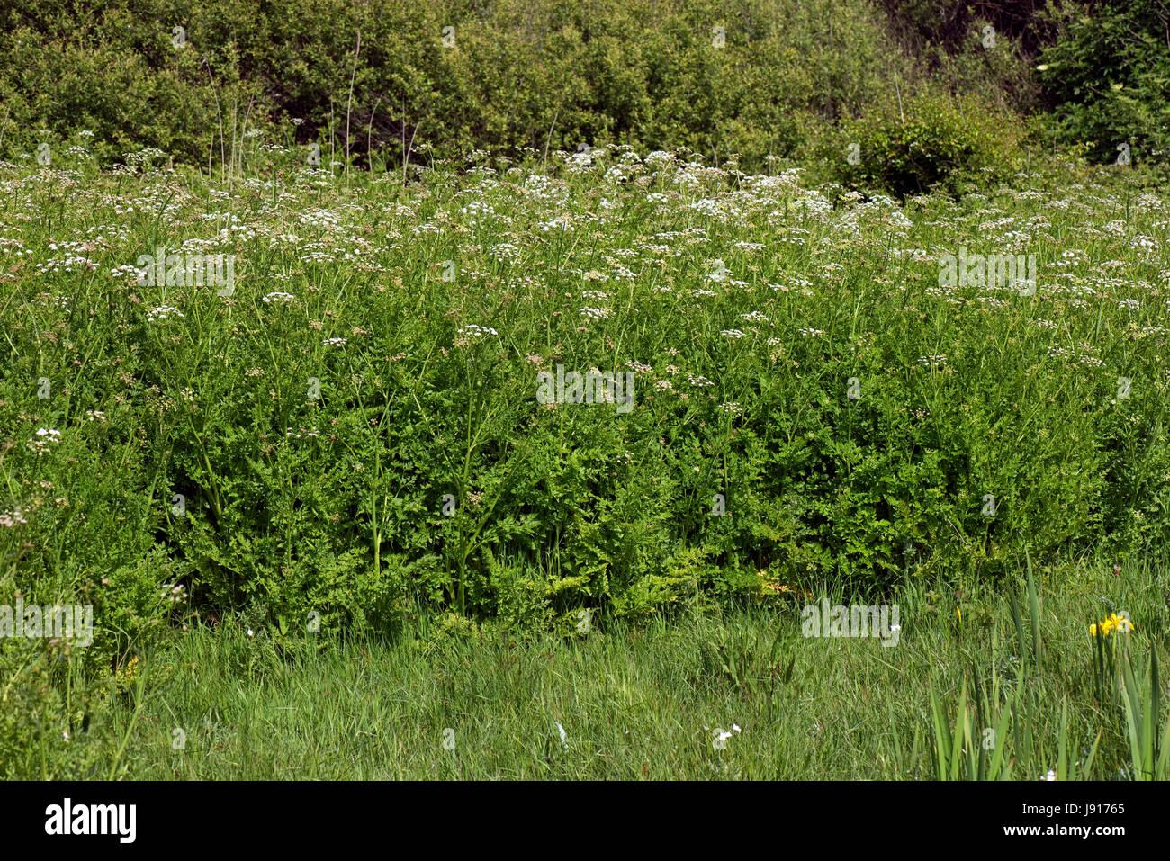 Hemlock water dropwort, Oenanthe crocata, banks of extremely poisonous umbelliferous plant in marshy area behind - Stock Image