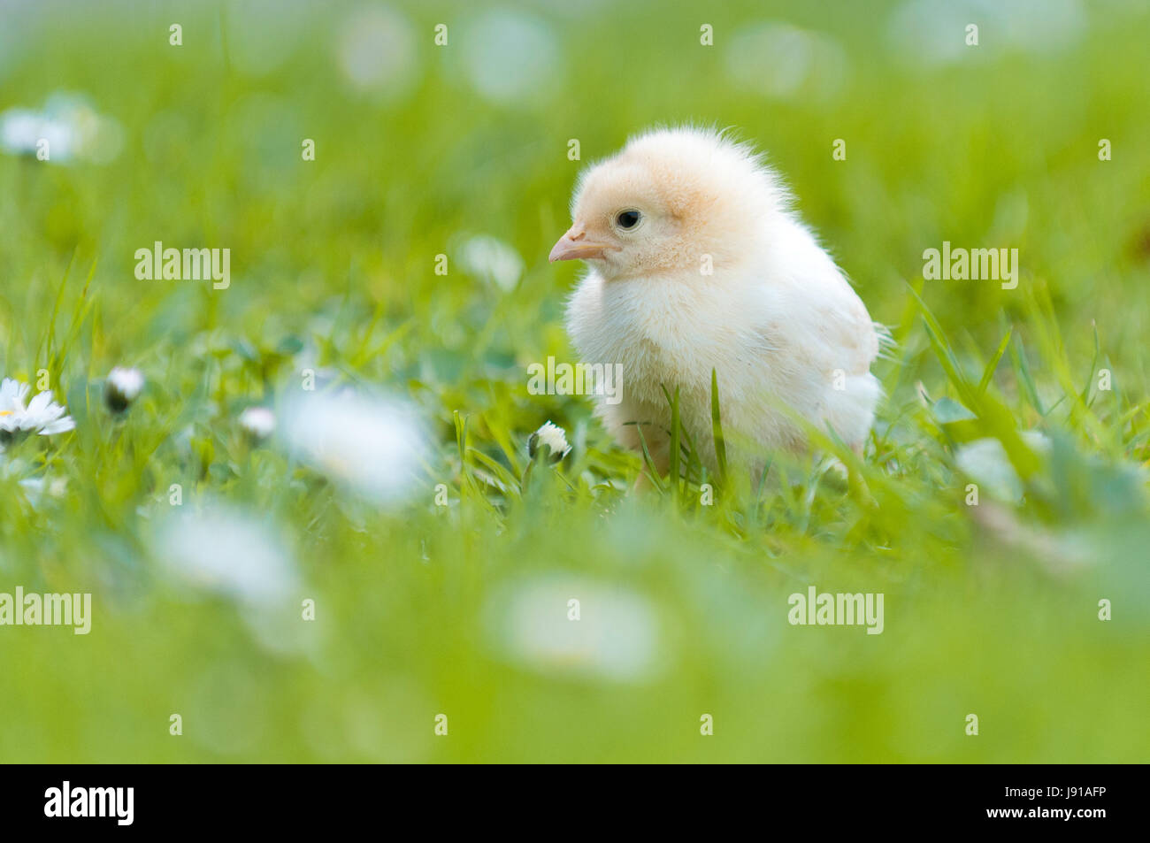 easter, chick, chicken, fluffy, maddening, pert, coquettish, cute, young, - Stock Image