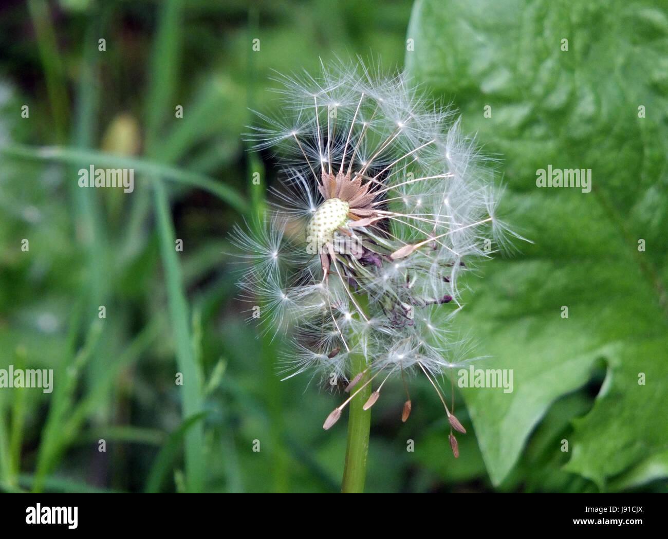 dandelion clock with seeds flying away - Stock Image