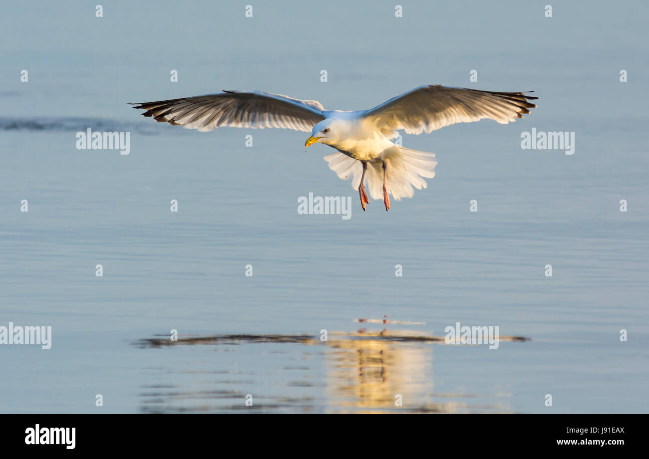 Seagull flying low over the sea showing its reflection in the water, in late evening light. - Stock Image