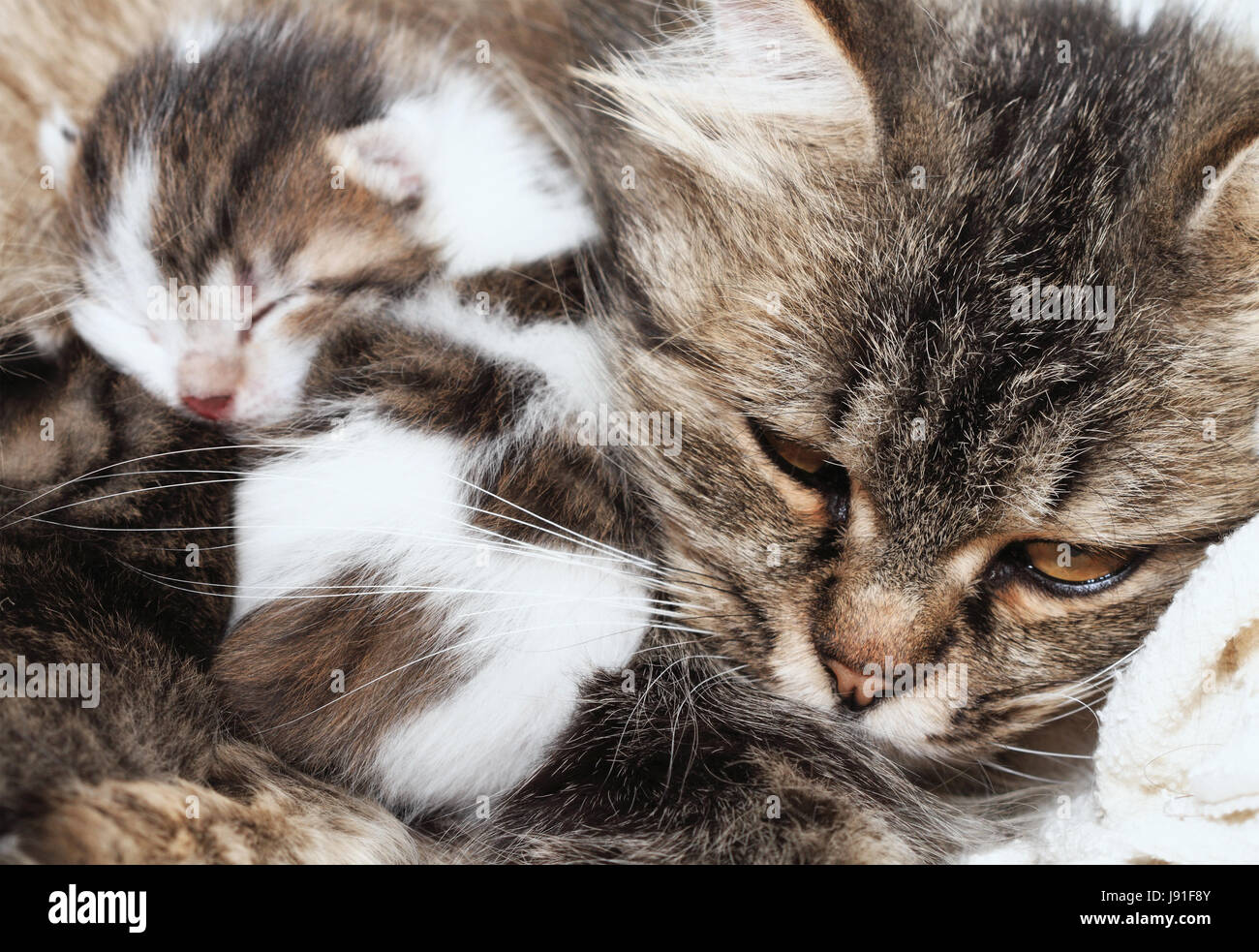 animal mammal pets mother mom ma mommy cat baby kitten stock