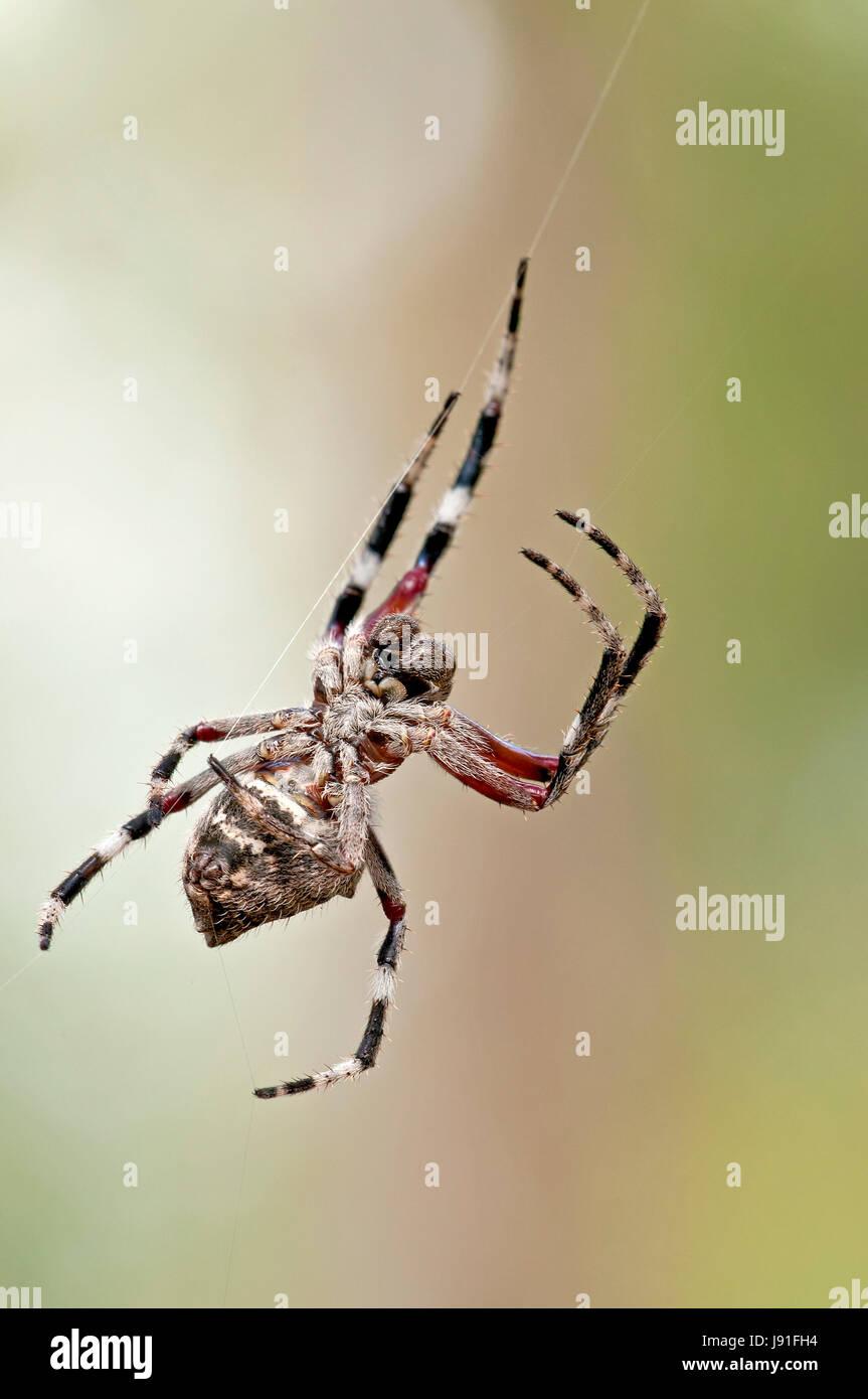 orb-weaver spider - Stock Image