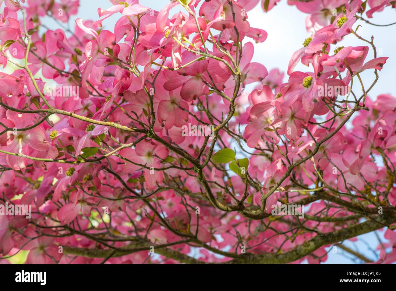 Dogwood Tree In Bloom Stock Photos Dogwood Tree In Bloom Stock