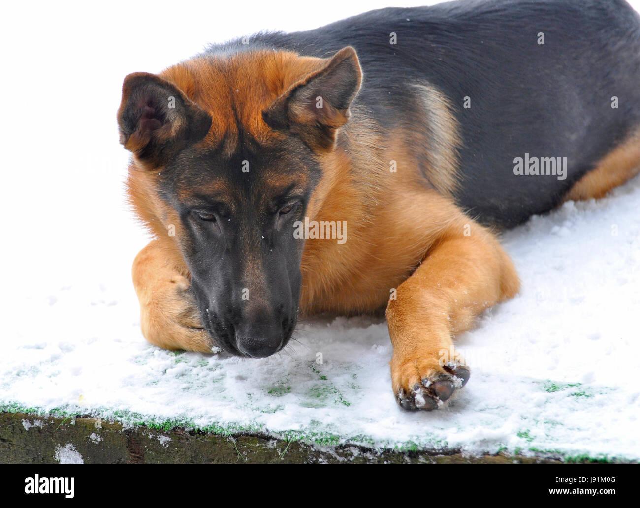 winter pet dog outdoor german sheperd german sheperd dog rage
