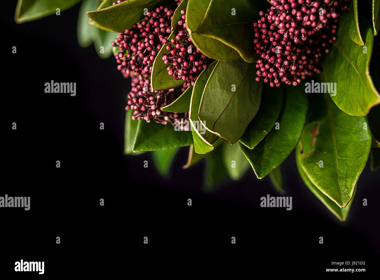 Red/pink flowers on a Skimmia - Stock Image