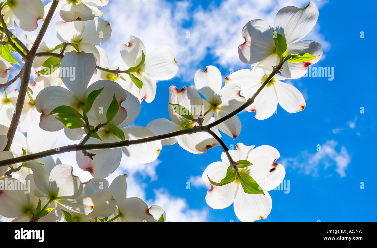 Beautiful dogwood blossoms reach toward a lovely springtime partly cloudy sky. - Stock Image