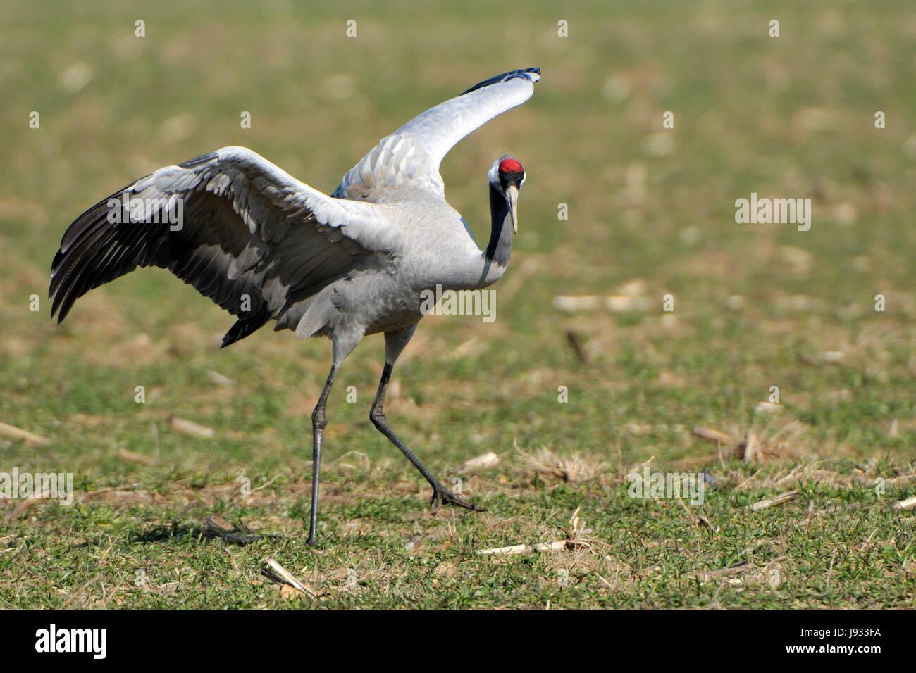 bird, birds, crane, grayer, gravel, salute, greeting, animal, bird, asia, Stock Photo