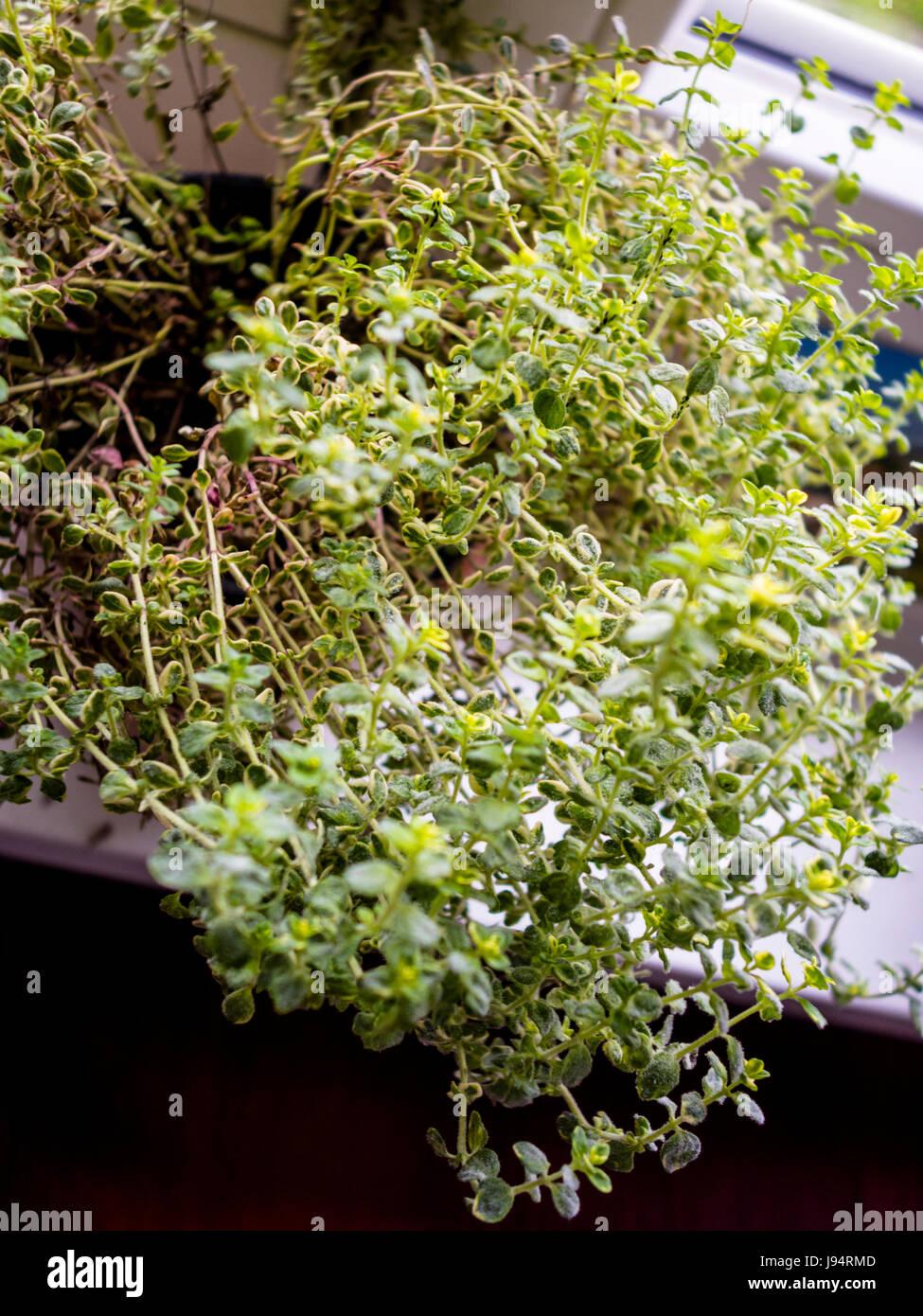 Fresh Thyme - Stock Image