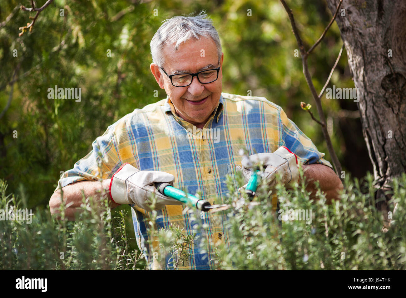 Senior man in his garden. He is pruning plants. - Stock Image