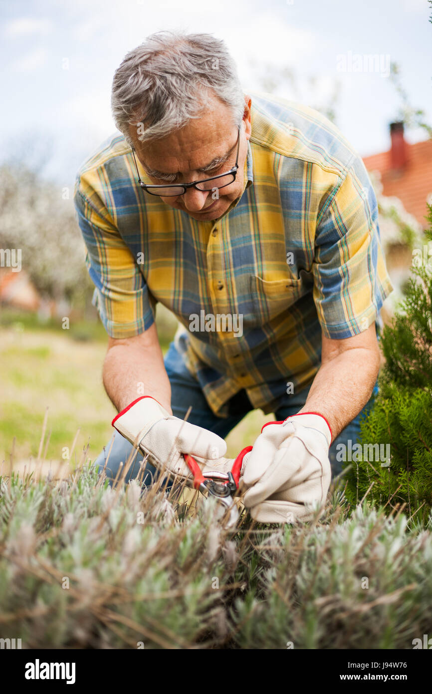 Senior man in his garden. He is pruning plants. - Stock Image