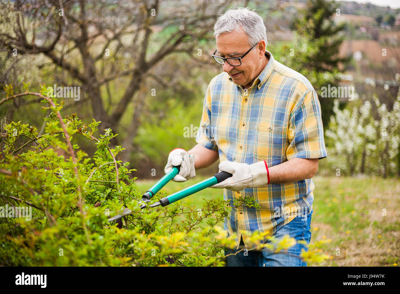 Senior man in his garden. He is pruning bushes. - Stock Image