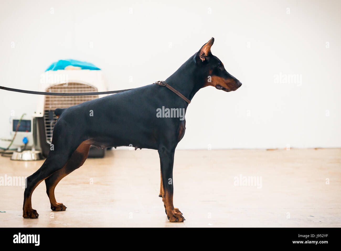 Portrait of purebred doberman posing - Stock Image