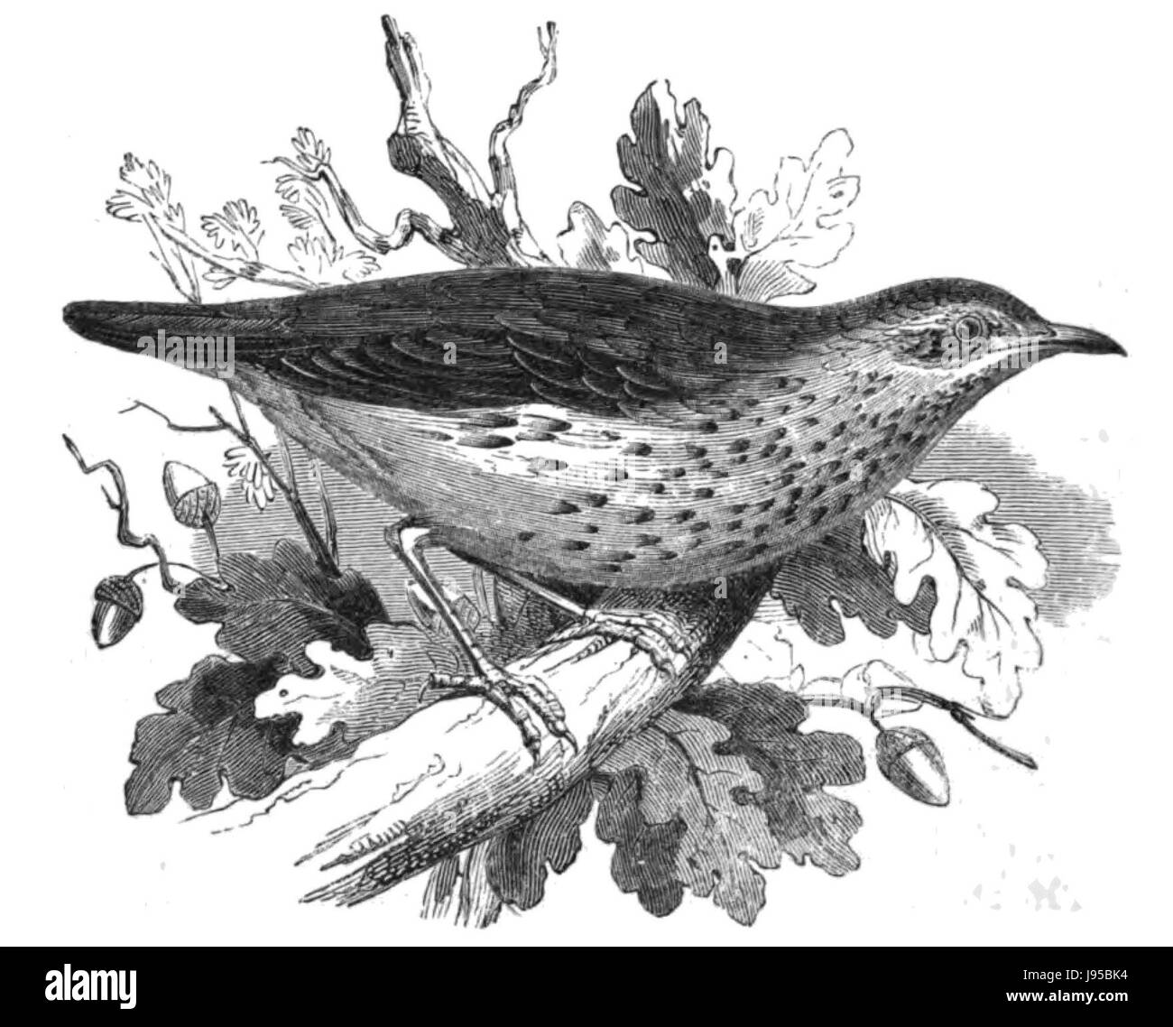 Natural History, Birds   Thrush - Stock Image