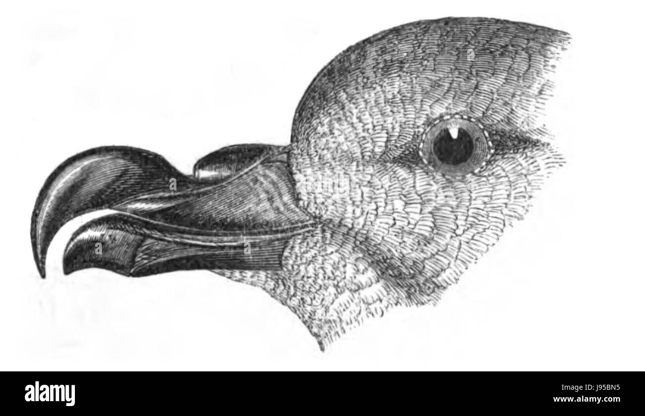 Natural History, Birds   Petrel beak - Stock Image