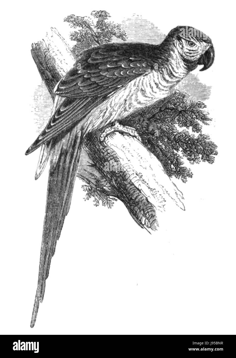 Natural History, Birds   Macaw - Stock Image