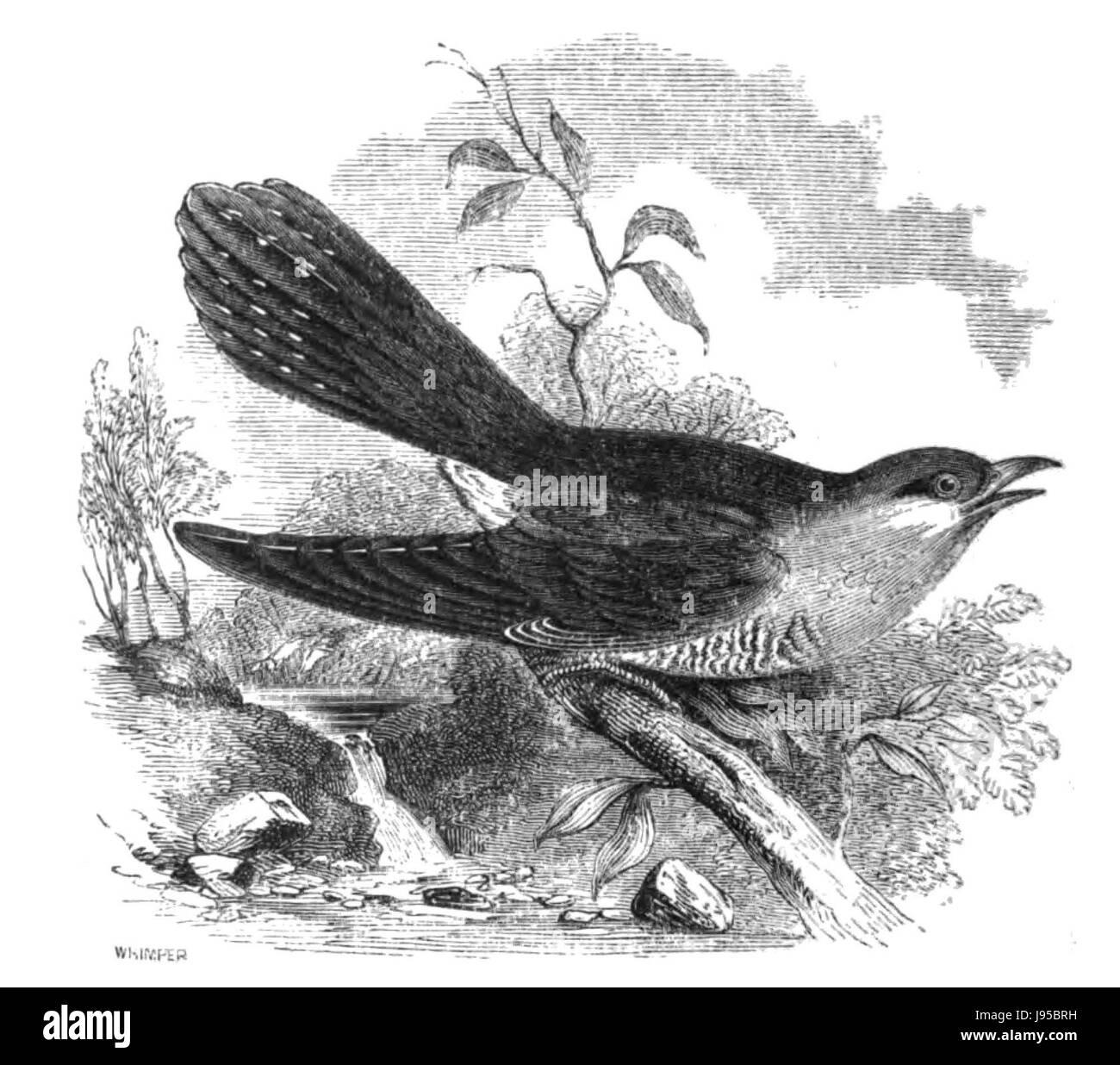 Natural History, Birds   Cuckoo - Stock Image