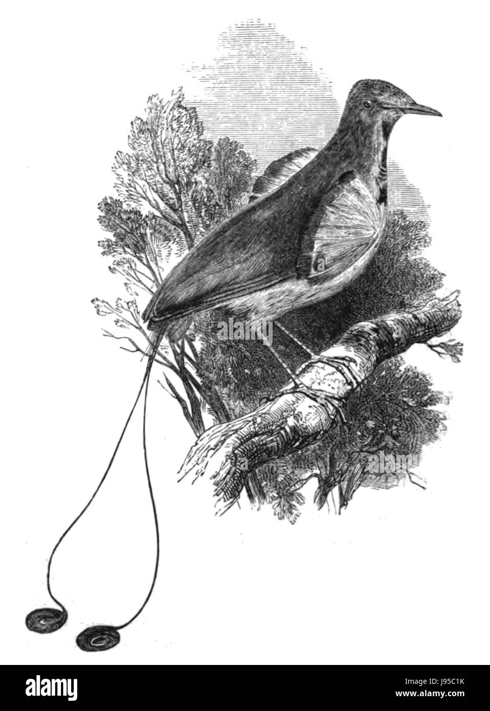 Natural History, Birds   Manucode - Stock Image