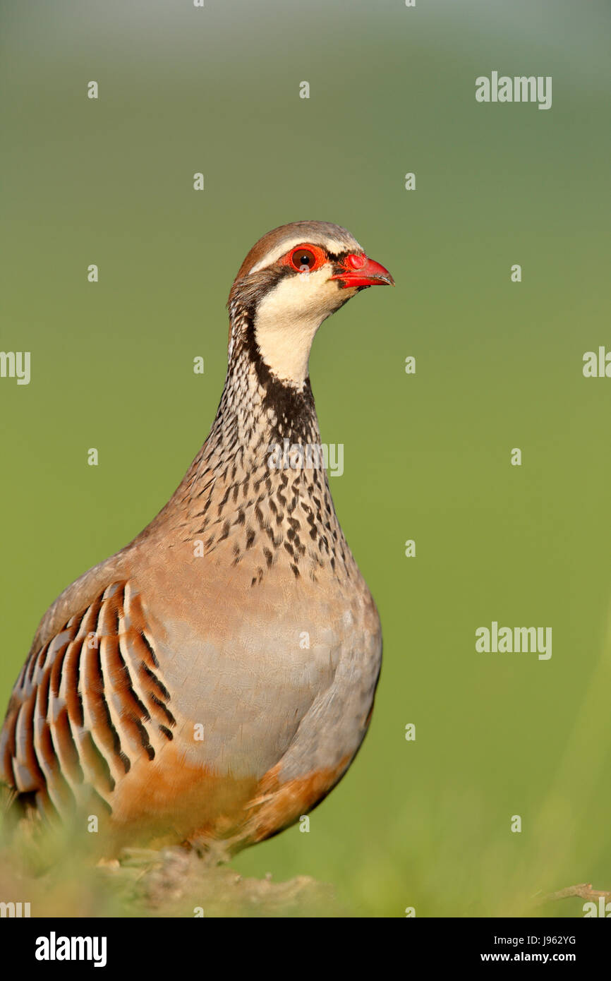 Red-legged Partridge, French Partridge, Alectoris rufa, adult summer plumage. a wild native species,also a game - Stock Image
