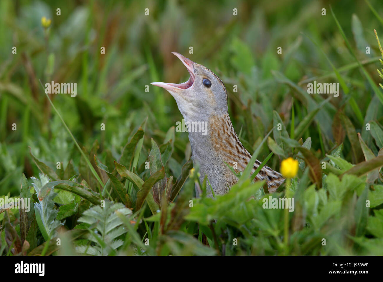 Corncrake, Corn Crake, or Landrail, Crex crex calling and skulking in long meadow grass on North Uist, Outer Hebrides - Stock Image