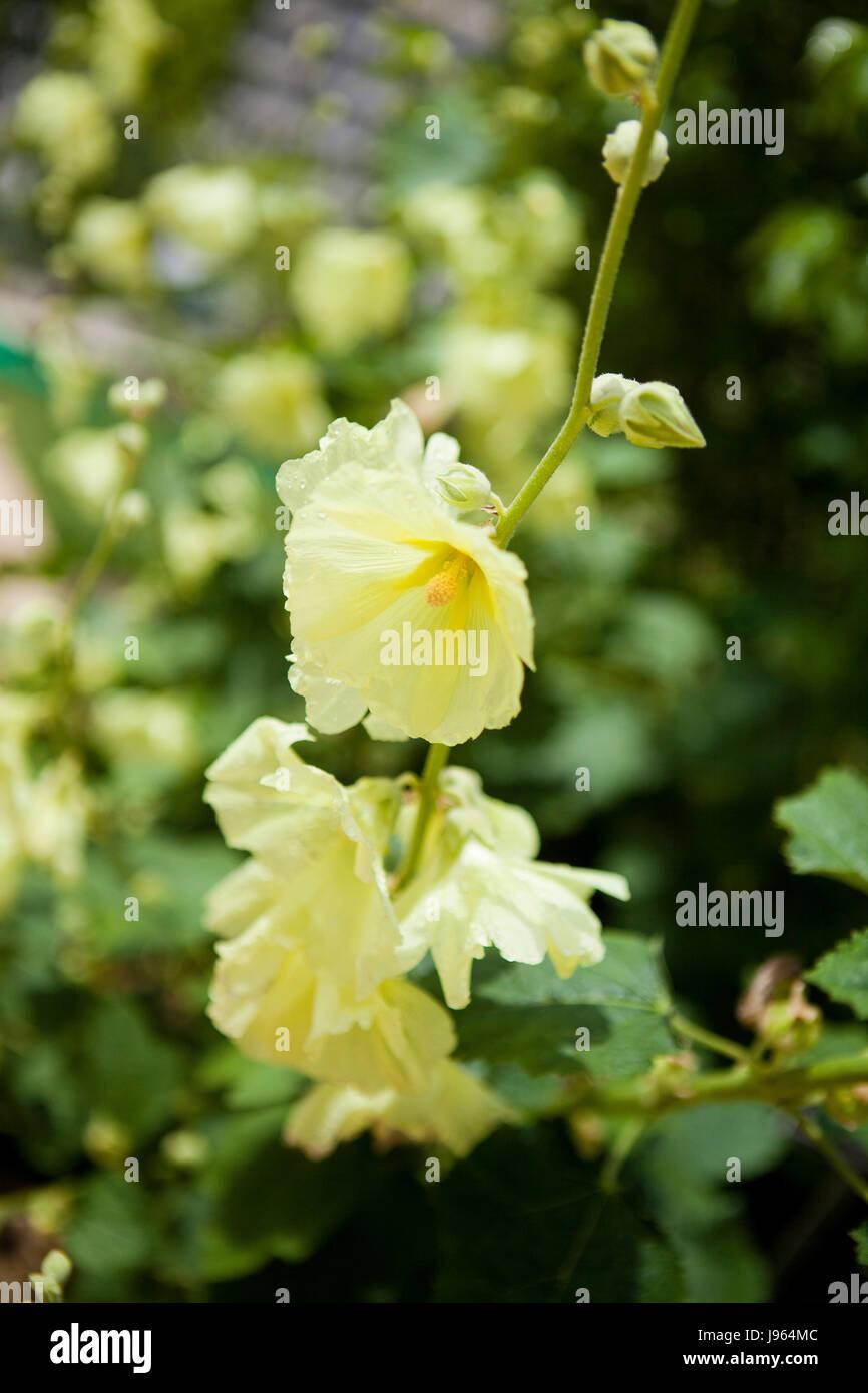 Russian Hollyhock (Alcea rugosa) perennial garden plant flowers - USA - Stock Image
