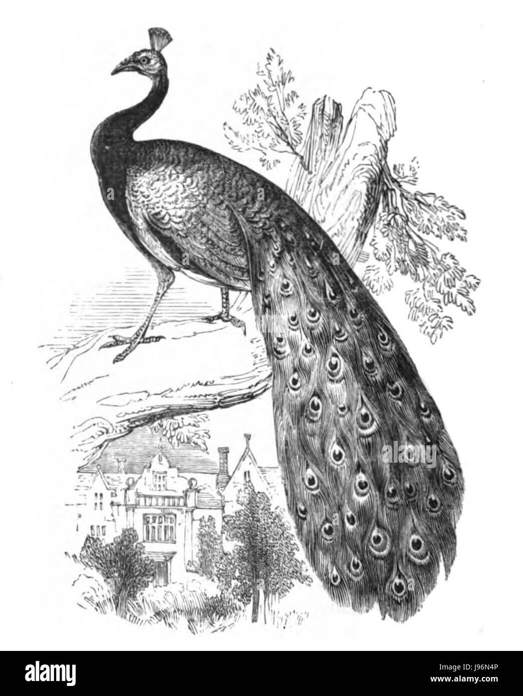 Natural History, Birds   Peacock - Stock Image