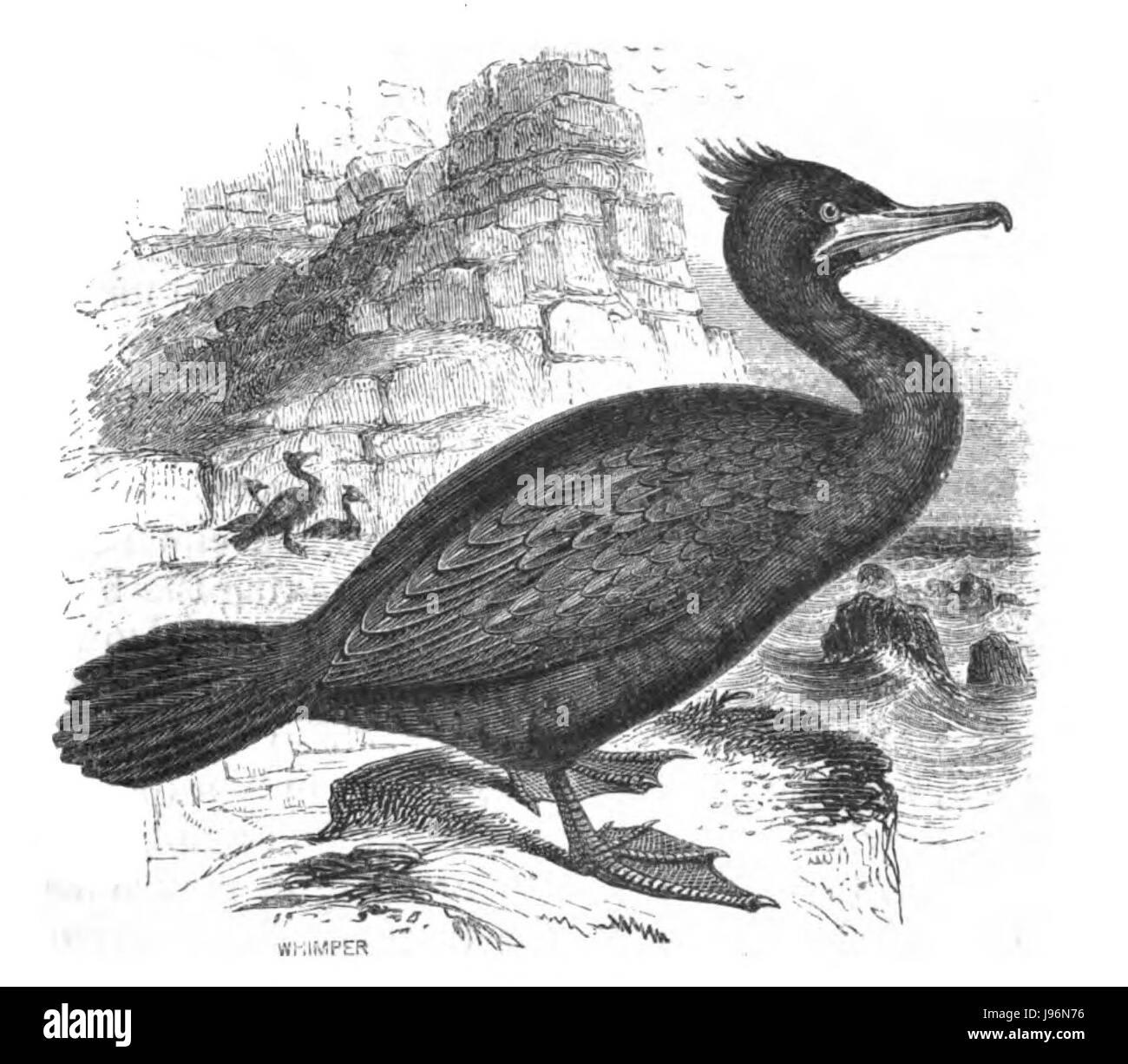 Natural History, Birds   Shag - Stock Image