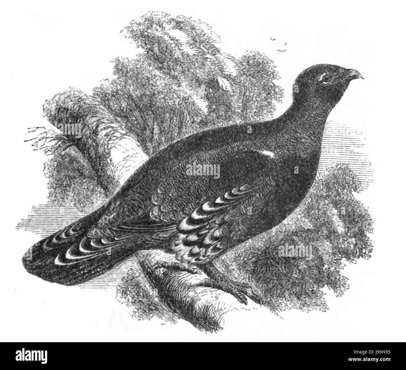Natural History, Birds   Capercailzie - Stock Image