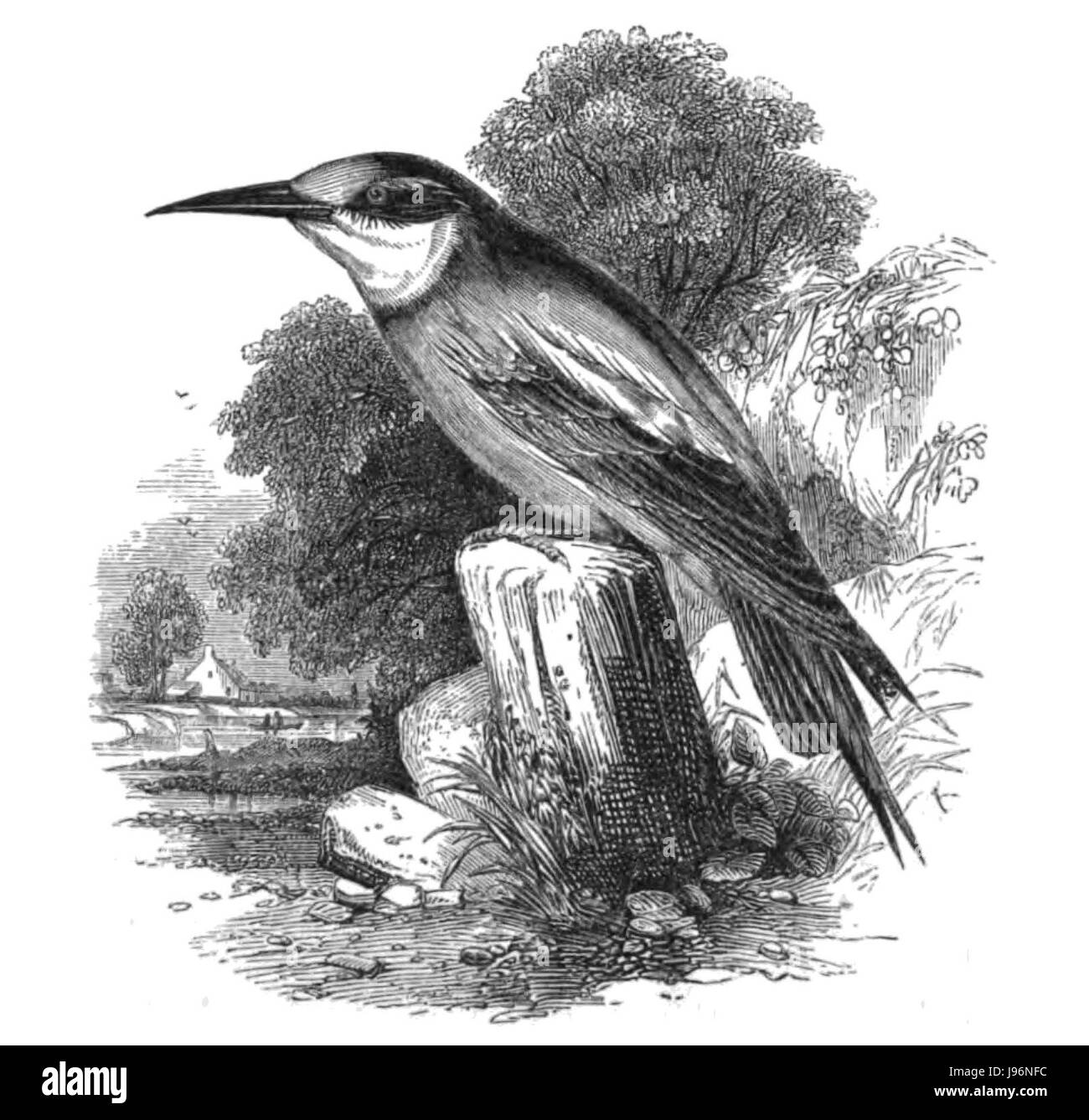 Natural History, Birds   Bee eater - Stock Image