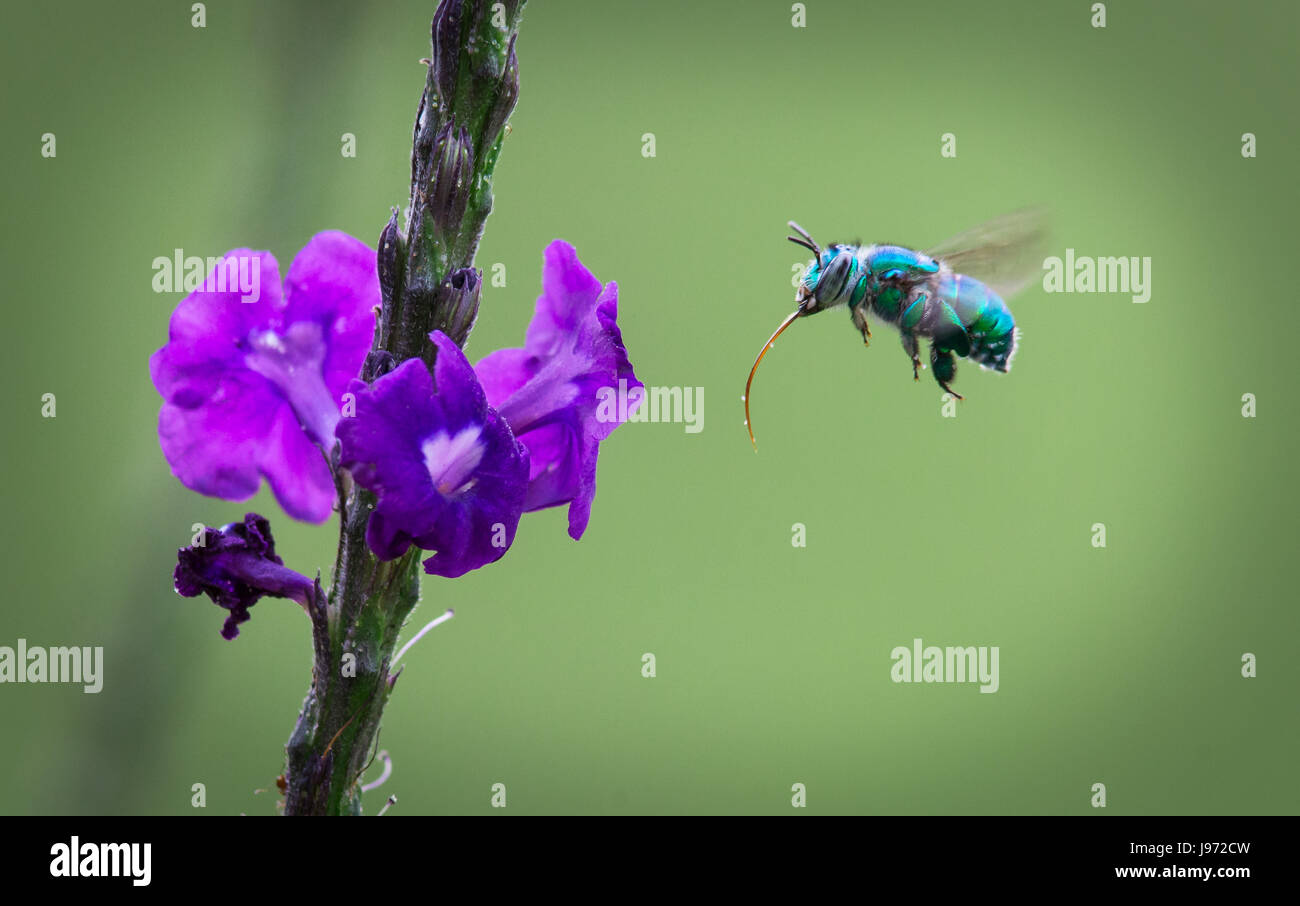 Blue-green Bee hovering for nectar - Stock Image