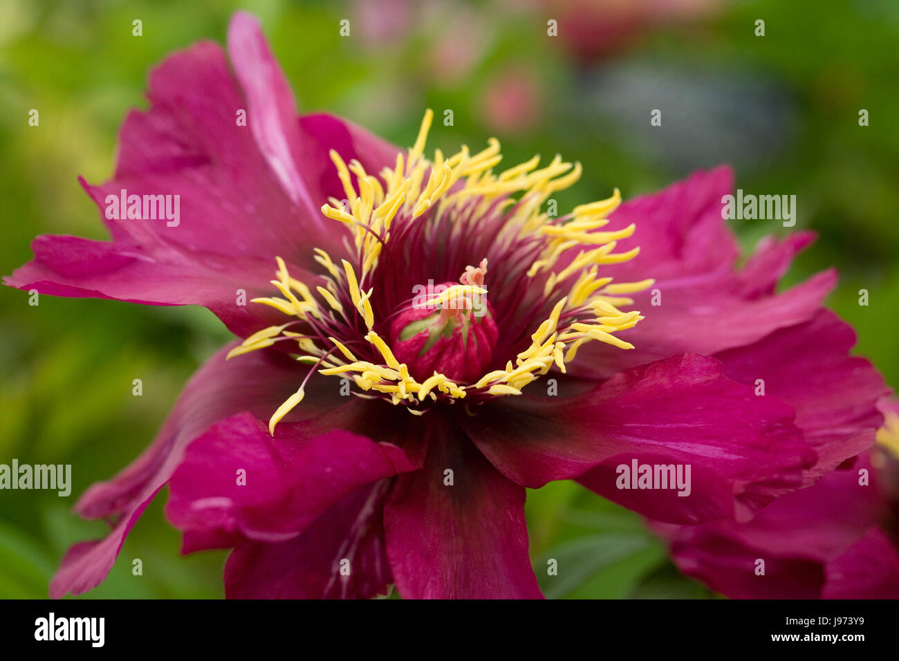 Paeonia intersectional 'Morning Lilac' flower. - Stock Image
