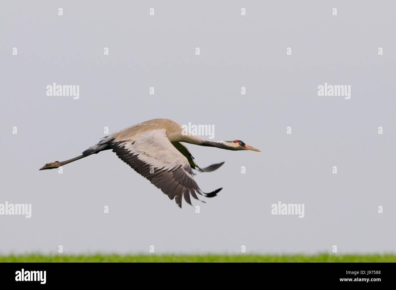 animal, bird, asia, animals, birds, blank, european, caucasian, europe, spring, Stock Photo