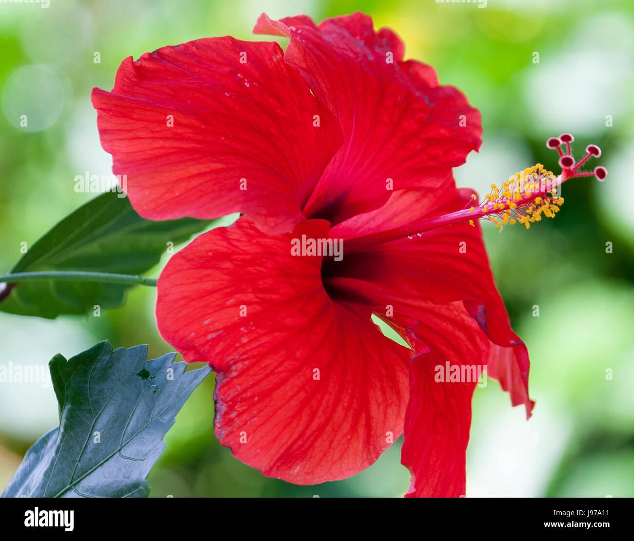 Hawaiian red hibiscus stock photos hawaiian red hibiscus stock hibiscus red hawaiian stock image izmirmasajfo
