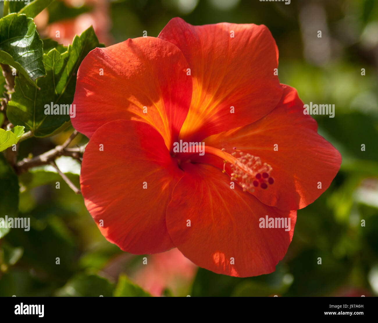 Red Hawaiian Hibiscus Oahu Stock Photos Red Hawaiian Hibiscus Oahu